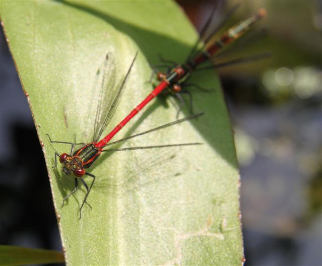 A pair of large red damsels