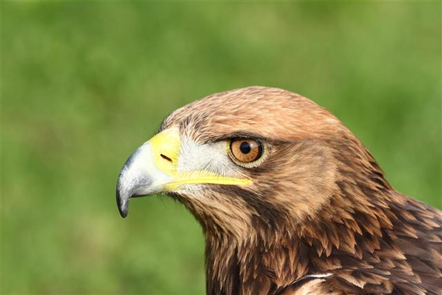 Golden eagle, Up close and personal.